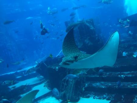 Eleganter Manta gleitet durch das riesige Aquarium der Dubai Mall