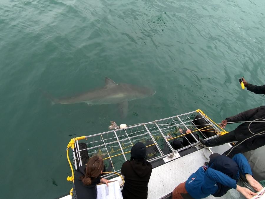 Beim Cage-Diving schwimmt ein großer weißer Hai am Käfig nahe vorbei