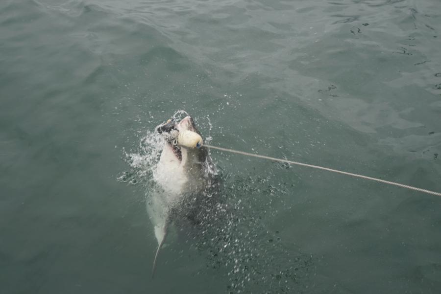 Ein weißer Hai wird im Meer gefüttert