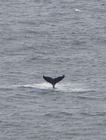 Eine Wal-Fluke hebt sich aus dem Meer - gesehen bei der Tour entlang der Garden Route