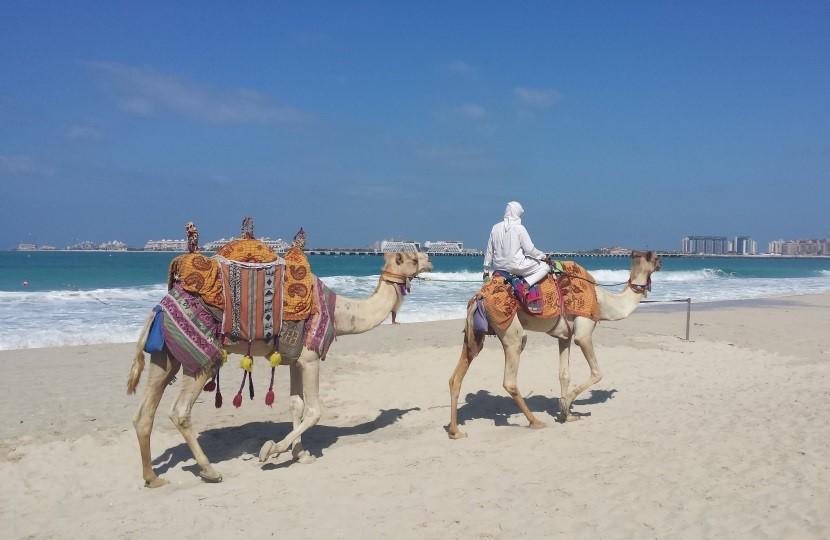 Kamele mit Reiter am Strand von Dubai