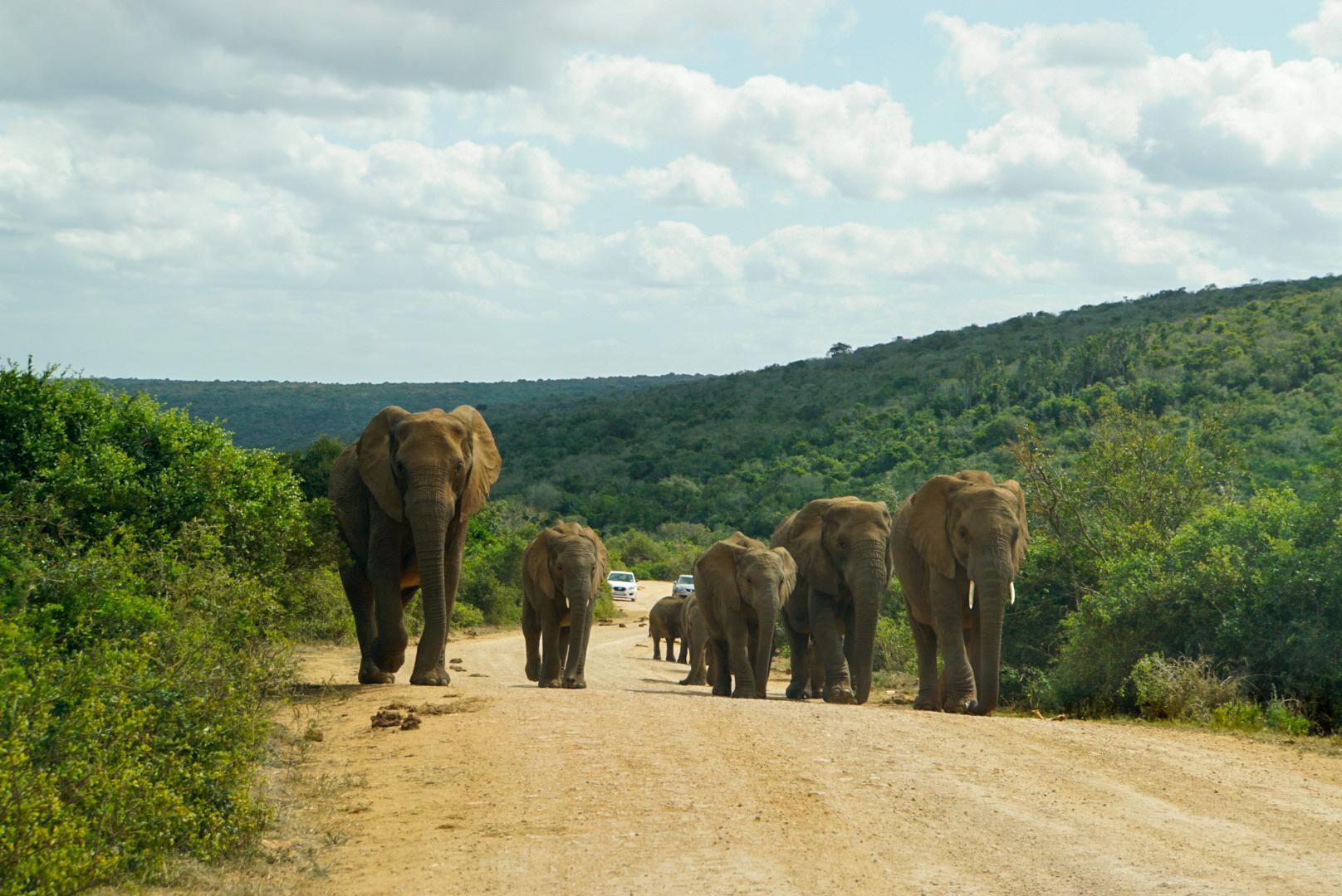 Eine Elefantenherde geht völlig entspannt auf einer Straße im Addo National Elephant Park Südafrika