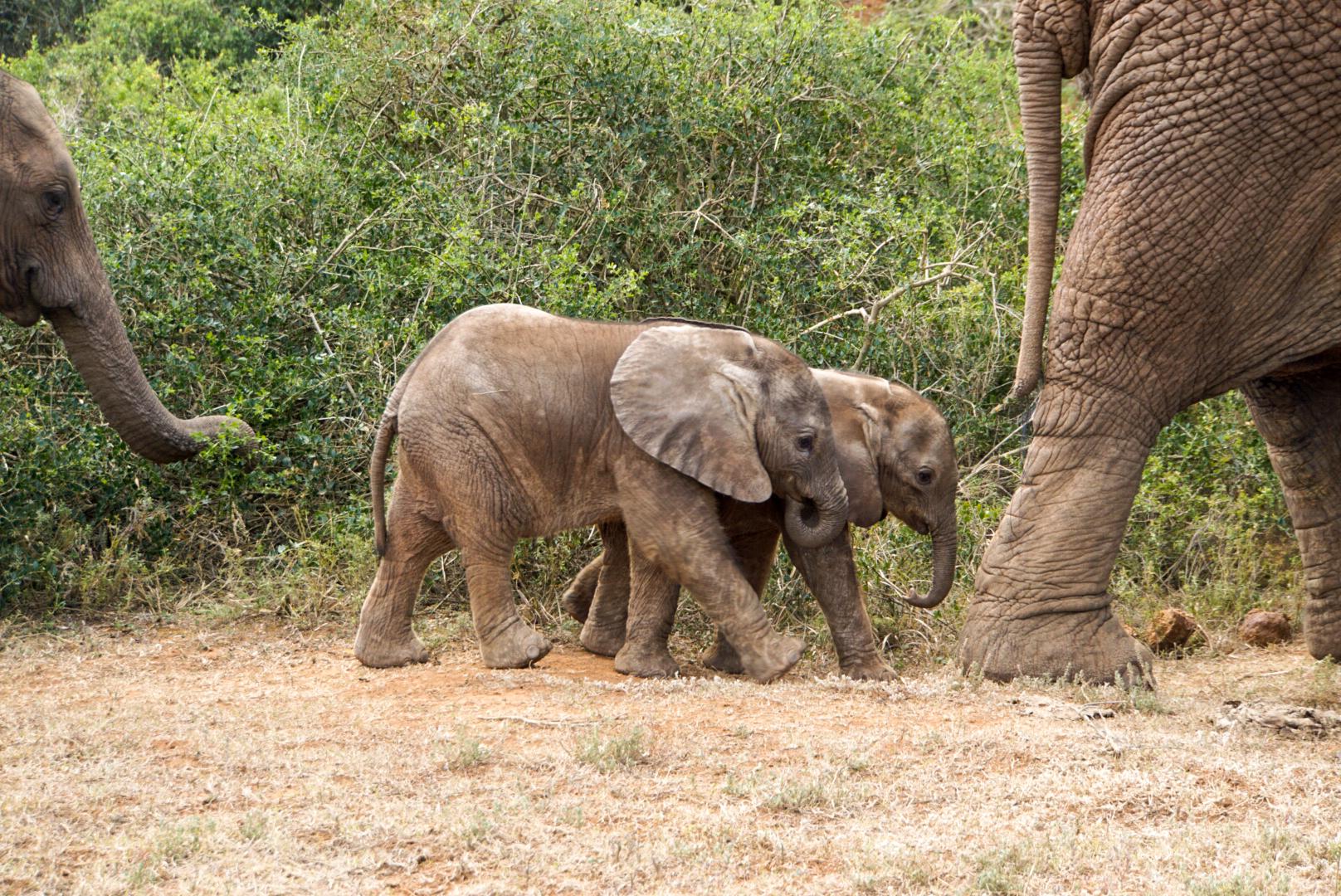 Zwei Elefanten-Junge werden von ihren Müttern begleitet