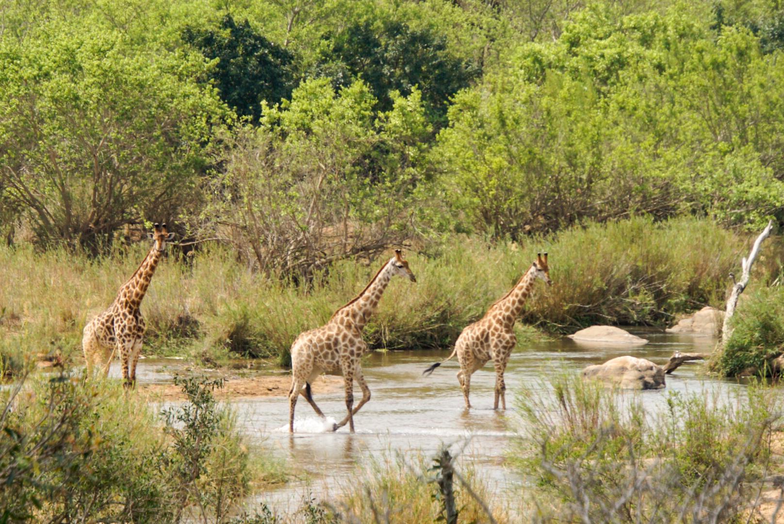 3 Giraffen gehen durch den Sabie Fluss im Krüger Nationalpark Südafrika