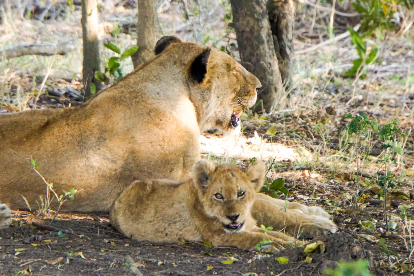 Mama Löwe mit Jungem liegend im Gebüsch