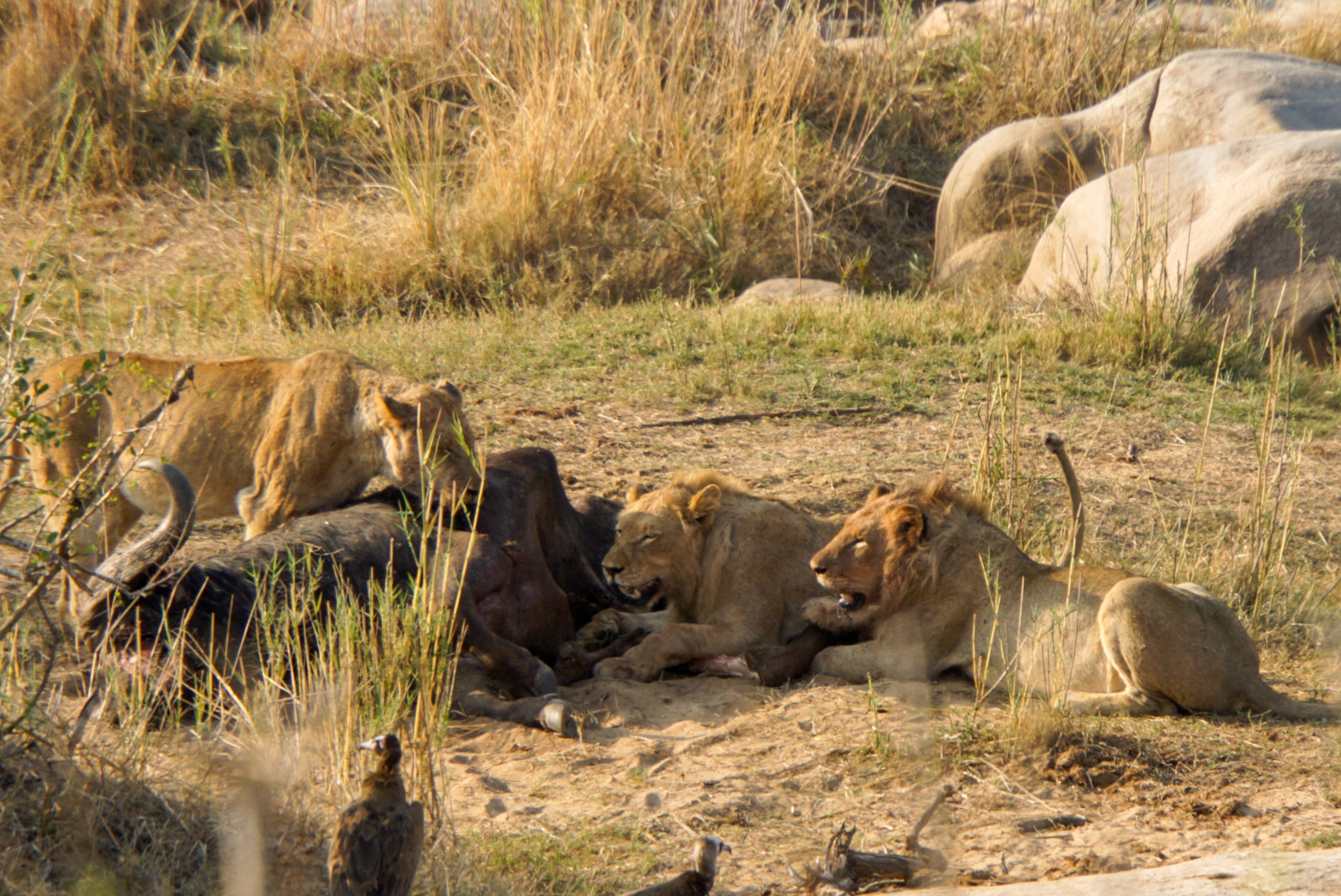 3 Löwen fressen einen Büffel im Krüger Nationalpark Südafrika