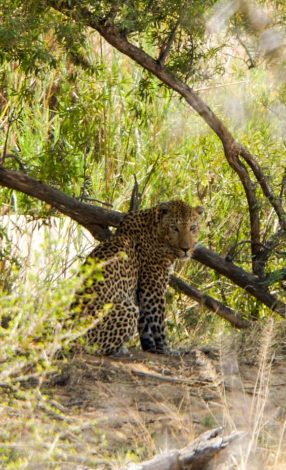 Leopard in einem Gebüsch sucht Schutz vor der heißen Mittagssonne