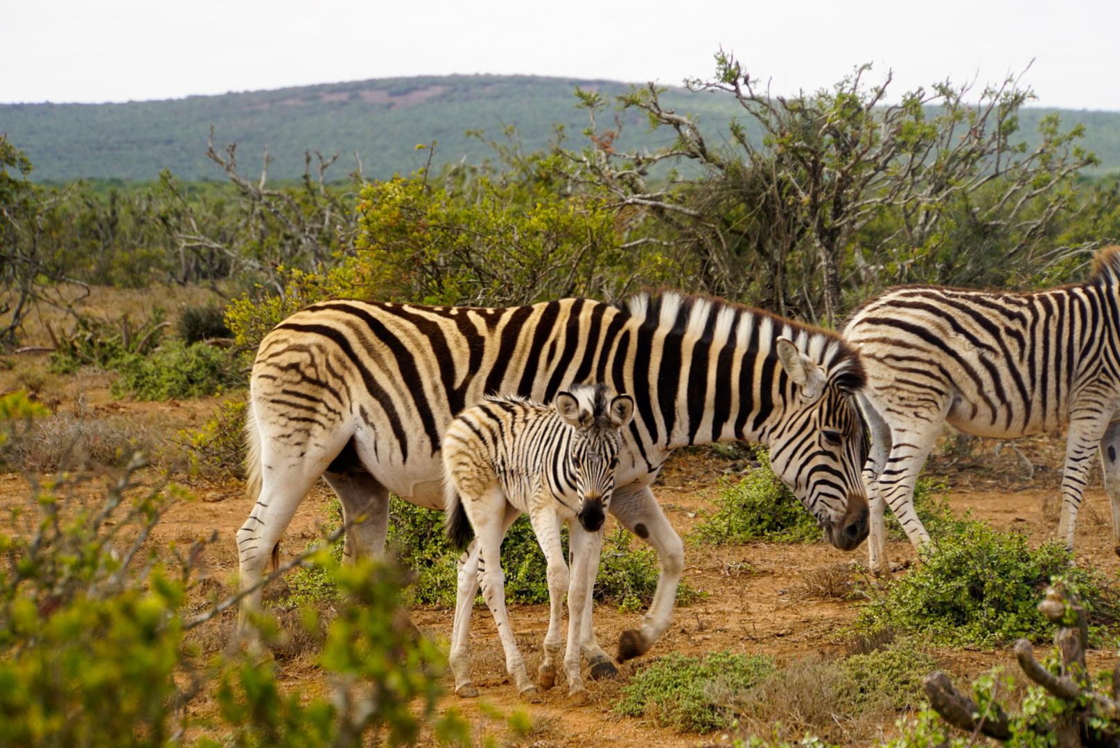 Zebraherde mit jungem Fohlen im Kruger Nationalpark Südafrika