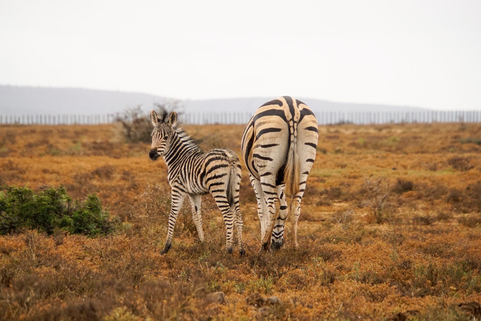 Zebramutter mit Jungem