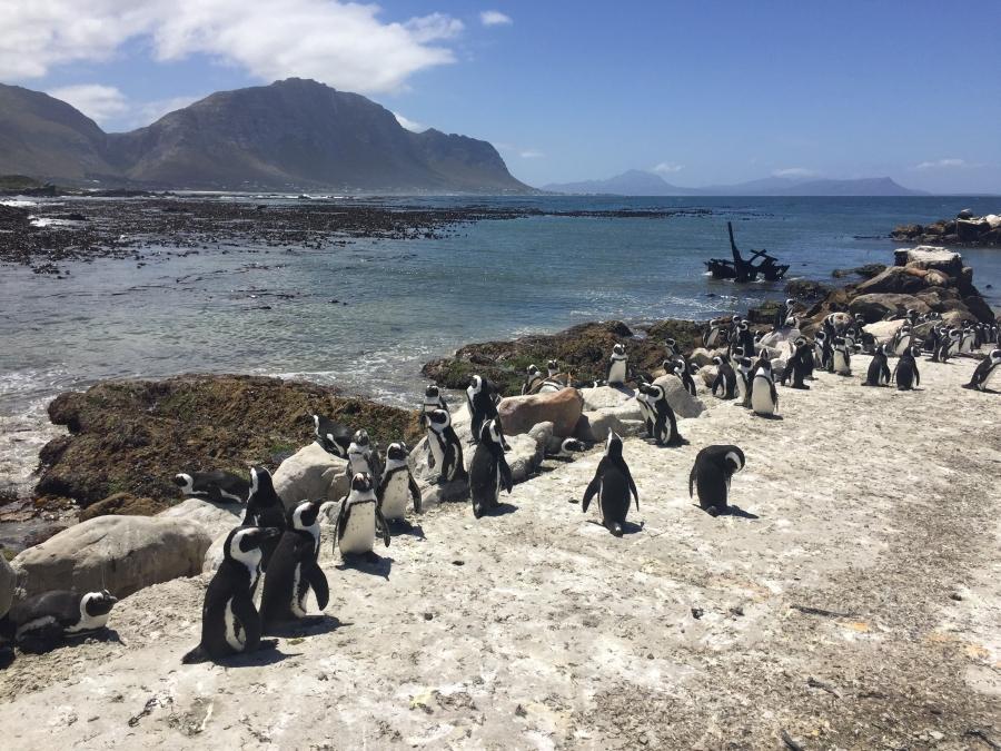 Stony Point Pinguin-Kolonie in Betty's Bay